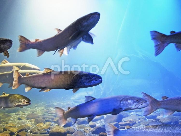 川魚の世界(イトウ)_02の写真
