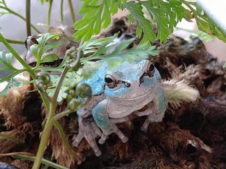 파란 개구리