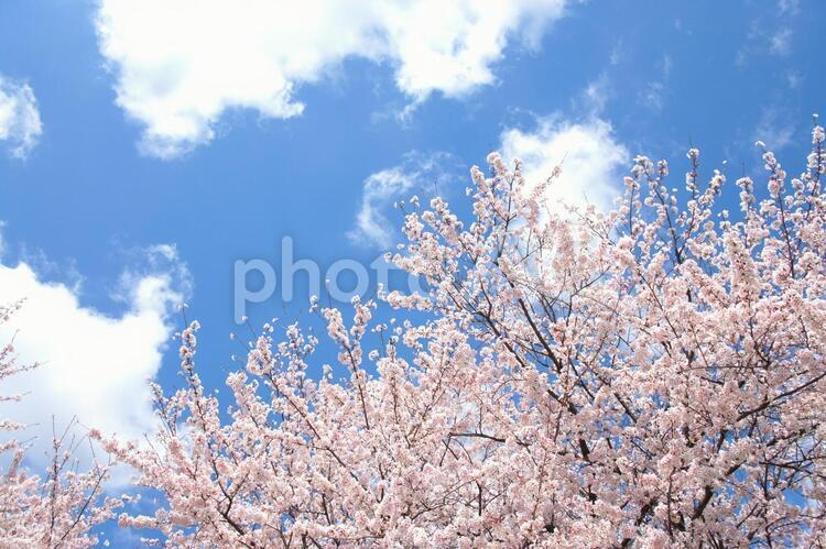 桜3の写真