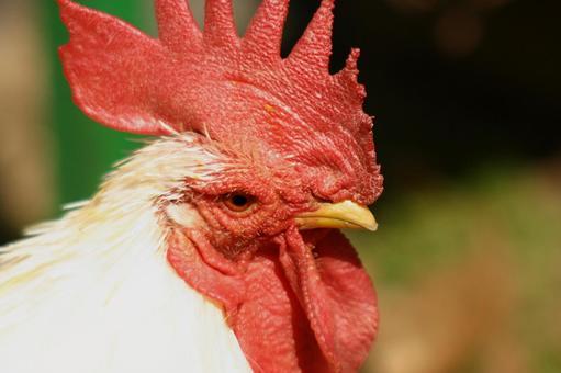 Chicken profile