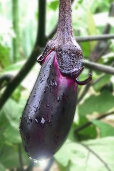 Eggplant # 8