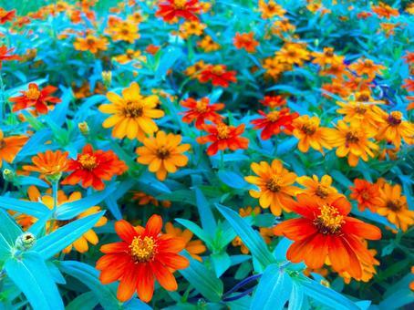 Red and orange zinnia flower fields
