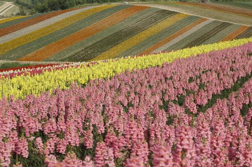 Flower field salvia pink