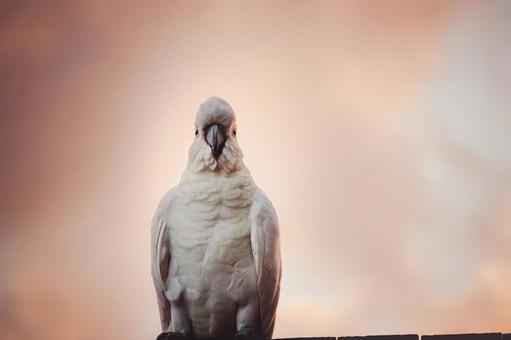 澳大利亞野生鳥Kibatan英國名字美冠鸚鵡朝日樣式與橙色天空和雲彩葡萄酒樣式正面圖