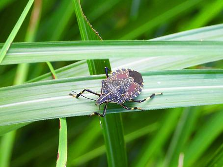 Yellow spotted stink bug (insect)