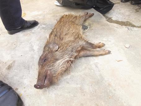 Catch wild boars