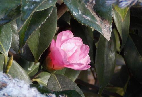 Light snow (cold camellia)