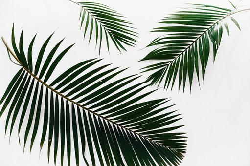 For background image and texture material palm tree palm tree leaves margin copy space white background 3