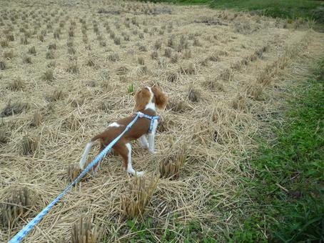 Dog walk / rice field after harvesting rice