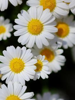 マーガレット 白い花