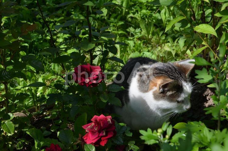 バラと猫のマシックの写真
