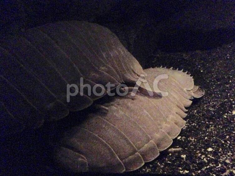 ダイオウグソクムシの写真