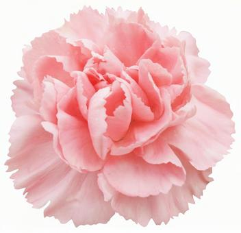 Cut out material Carnation with raindrops