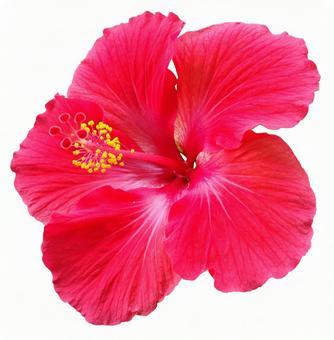 Hibiscus background transparent