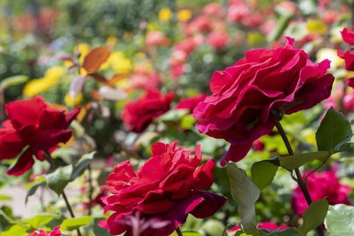 선명한 진홍의 장미 로널드 레이건 로즈