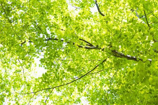 너도밤 나무에서 나뭇잎 사이로 비치는 햇빛