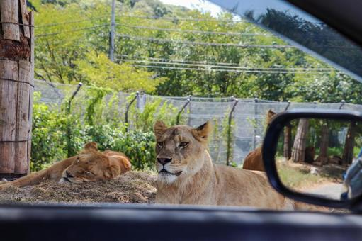 Safari lion seen from inside the car