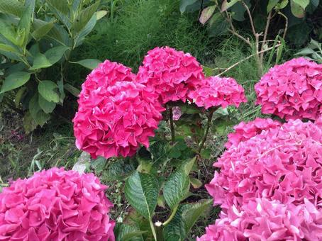 Hydrangea 2 pink