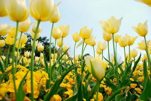 튤립 밭 (노란색)