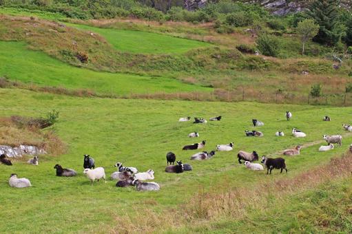 목초지의 양을 내려다 보는 언덕, 호르 다 란드, 노르웨이