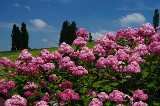 Hydrangea, blue sky and white clouds in the hillside park