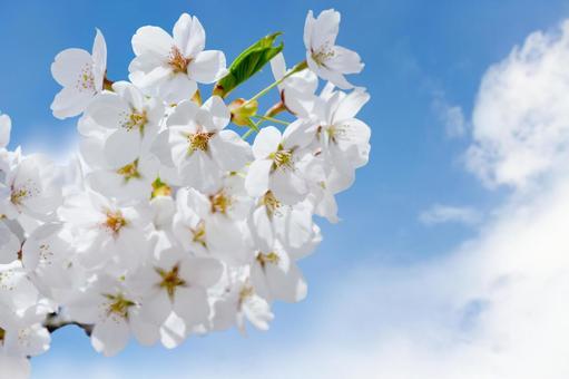 푸른 하늘과 벚꽃