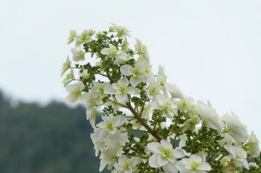 Oakleaf hydrangea flowers