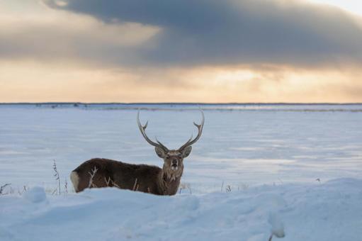 [Hokkaido] Yezo deer on the Notsuke Peninsula
