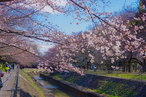 Three-quarter blooming cherry blossoms in Zenpukuji Ryokuchi Park