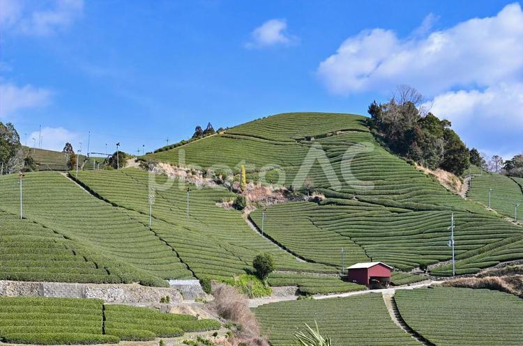 京都府和束町石寺の茶畑7の写真