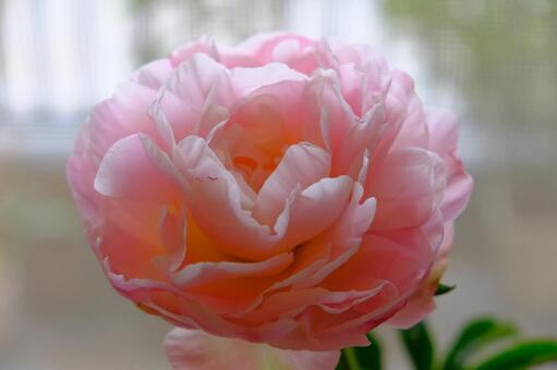 Flowering of peony 2