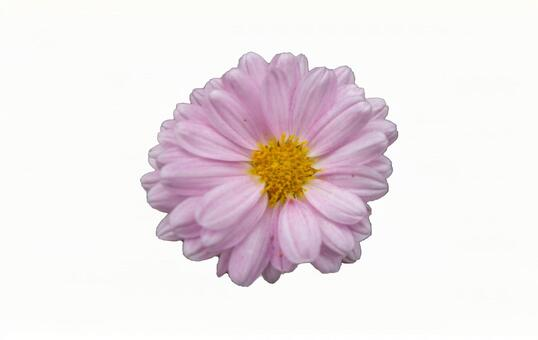 Pink chrysanthemum flower (with PSD)