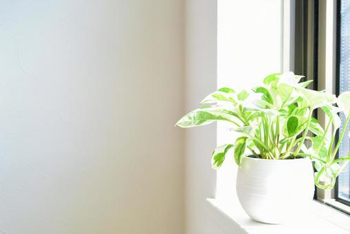 Ornamental plant by the window Potos