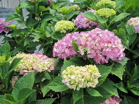 Pink hydrangea that started to color