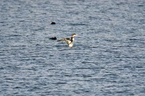 하시구로아비이 바다에서 날개를 펼치는 모습 화이트 락 브리티시 컬럼비아 캐나다