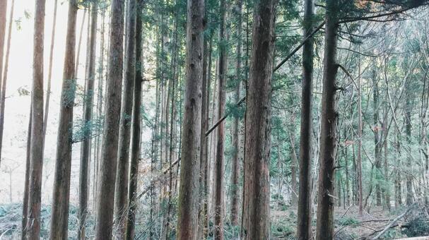 노송 나무 숲
