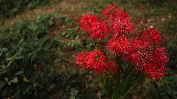 꽃 / 식물 히간 꽃 / 만주 사와