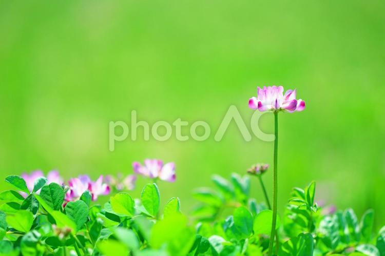 レンゲの花 蓮華草 レンゲソウ ピンクの花の写真