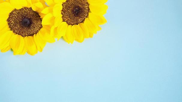 向日葵壁紙材質淺藍色背景16:9
