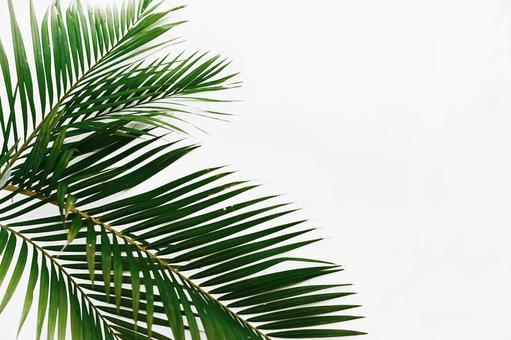 Background image and texture material palm tree palm tree leaves margin copy space white background