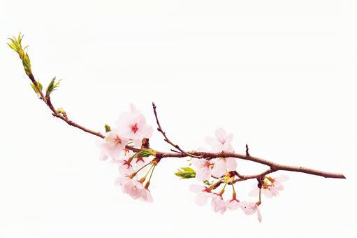 Sakura material _ long branch (PSD)