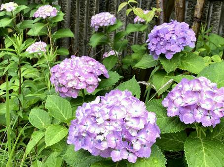 Hydrangea blooming on a rainy day