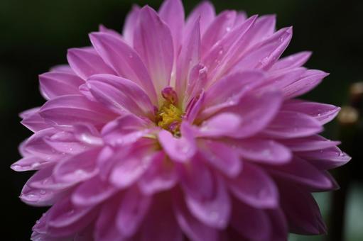 Pink western chrysanthemum