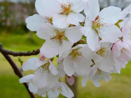봄을 알리는 벚꽃의 개화