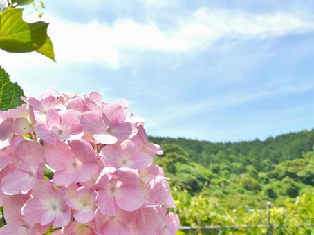 Hydrangea hydrangea hydrangea in nature