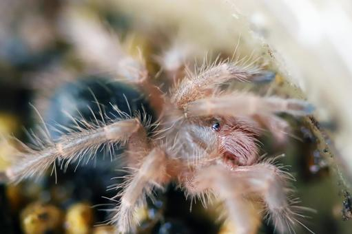 Tarantula Baby Tarantula Baby