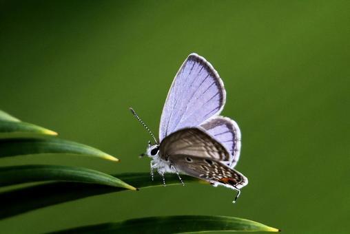[나비] 크로 제왕 소철 조개