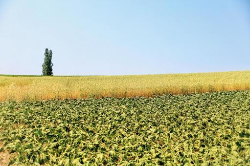 비 에이의 언덕 포플러와 보리밭