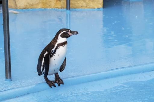Penguin standing by the pool