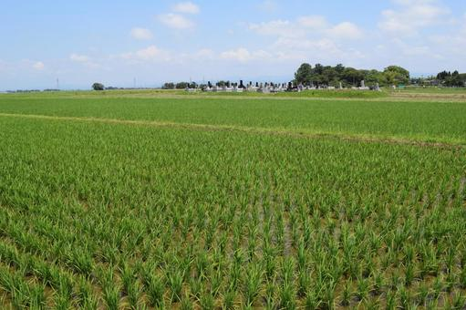 Paddy field one month after rice planting
